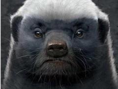 平头哥是什么梗 平头哥蜜獾